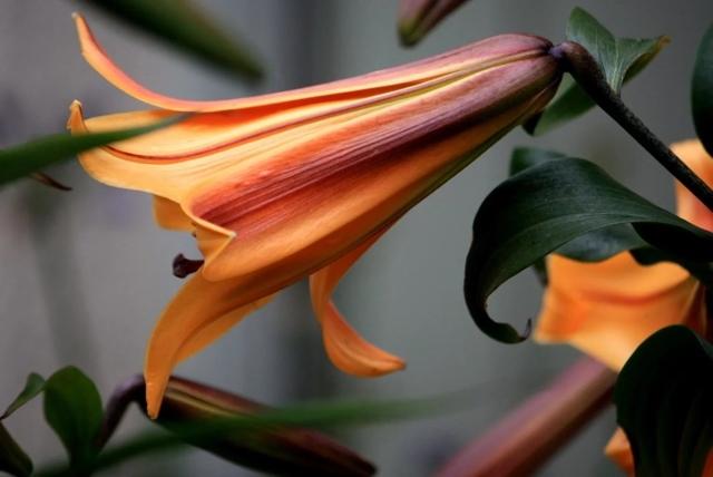 Уход посадка за трубчатыми лилиями