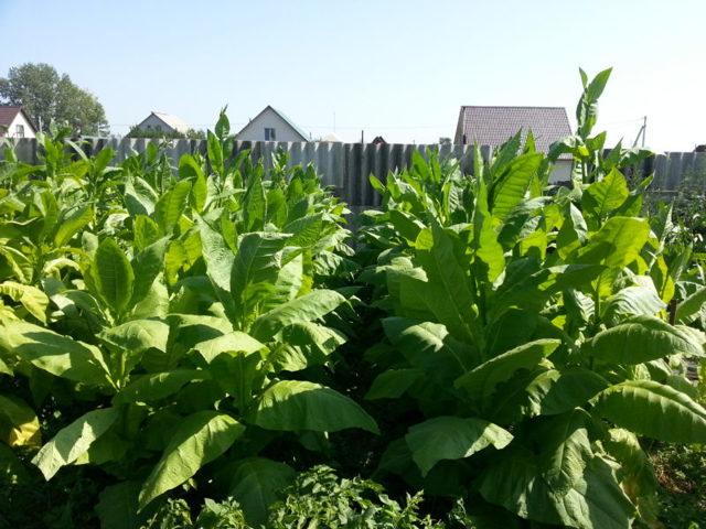 Технология производства трубочного табака