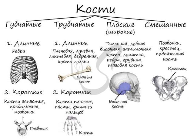 Система пластинок в трубчатых костях