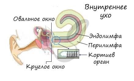 Ухо строение слуховая труба