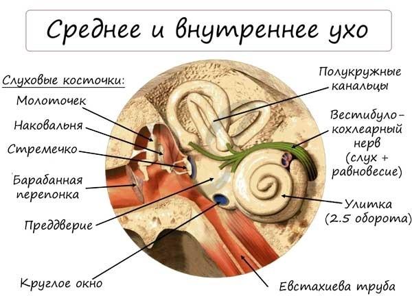 С чем соединяется евстахиева труба