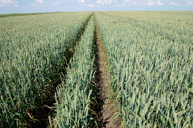 Фаза трубкования у пшеницы