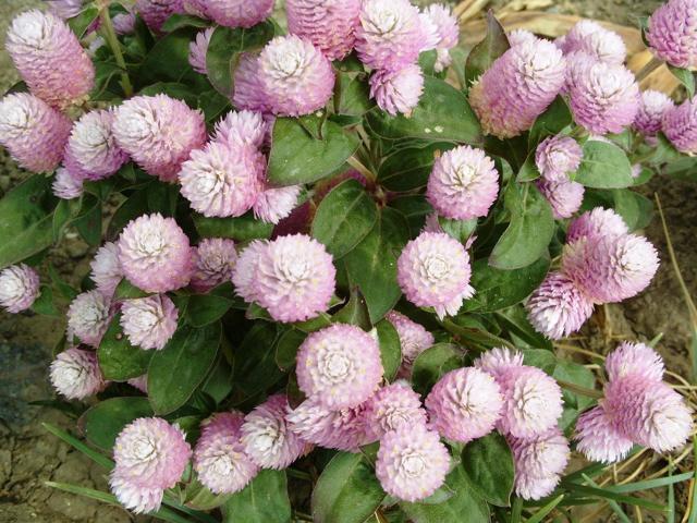 Цветочные корзинки полушаровидной формы с вдавленной серединой состоящие из трубчатых цветков