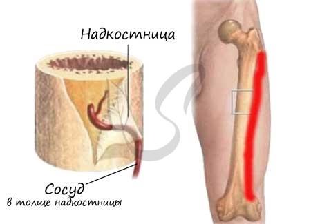 Функции костной ткани трубчатой кости